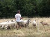Exercice de conduite de troupeau avec un Bouvier Australien