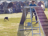 Entrainement et compétition d'Agility pour un Manchester Terrier