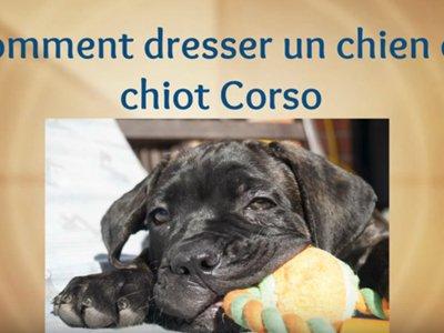 Vidéo Conseils pour éduquer son cane corso