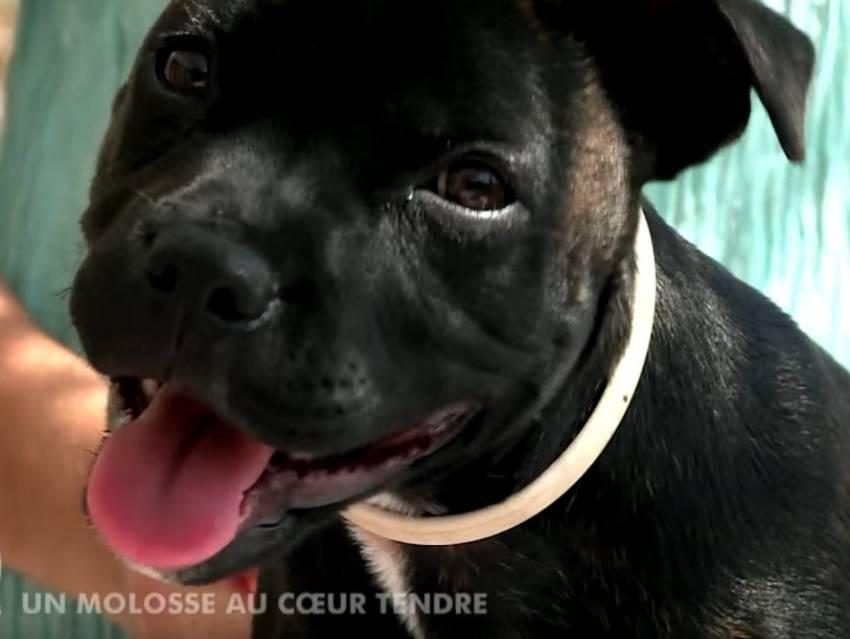 Comportement Staffie vidéo reportage sur le staffordshire bull terrier