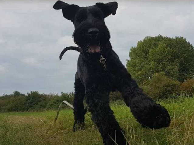 Un Schnauzer Geant En Stage Intensif D Education Canine Video