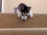 Un chiot husky se lance à l'assaut des escaliers