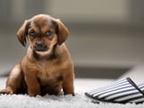 7 conseils pour bien intégrer votre chiot à la maison