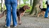 Suisse - Le nombre de morsures de chiens reste stable, malgré la prévention