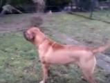 Le Tosa Inu, un bon chien de garde