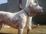 Le Sindh Hound, le molosse Pakistanais