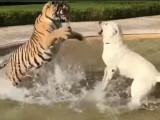 Un Kangal s'amuse avec un tigre