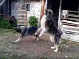 Deux chiens de Berger Roumain des Carpathes répondent aux aboiements