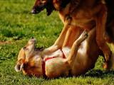 Rencontre entre chiens : curiosité ou agressivité, comment réagir ?
