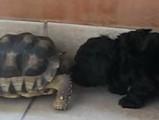 Un petit caniche découvre une tortue