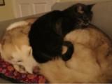 Un chat fait sa sieste sur un Husky