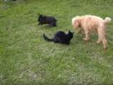 Un caniche, un lapin et un chat
