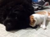 Un terre neuve et un chat, une amitié surprenante!
