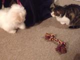 Rencontre entre un Coton de Tulear et un chat