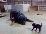 Ce chaton ne se laisse pas intimider devant ce Rottweiler