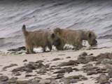 Balade en mer en famille pour des Cairn Terrier