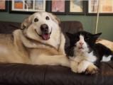 La belle amitié entre un Malamute et un vieux chat