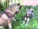 Alaskan Klee Kai vs Husky Sibérien