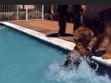 Un Airedale Terrier apprend à nager