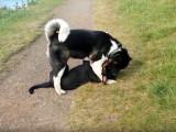 Un Akita Américain s'amuse avec un Rottweiler