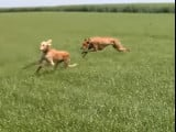 L'Azawakh et le Saluki, deux des grandes races du sprint