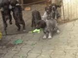 Quelques chiots Barbu Tchèque en action