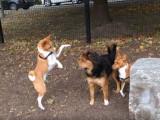 Des Basenji dans un parc pour chiens