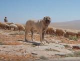 La défense d'un troupeau de moutons par le Berger d'Anatolie