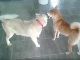 Un jouet pour deux chiens