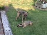 La folle amitié entre ces deux Border Terriers