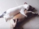 Un Khao Manee s'amuse avec un chien