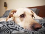 Combien de temps par jour un chien peut-il rester seul ?