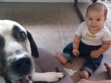 Un bébé fait connaissance avec un kangal