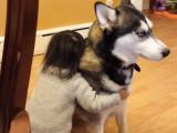 L'amour d'une petite fille pour un husky