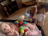 Uu Beagle vole le jouet d'un bébé et s'excuse