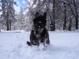 Un Terre Neuve joue et s'amuse dans la neige