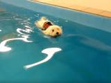 Un Coton de Tulear nageur