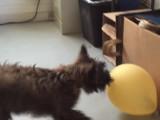 Un chiot Cairn Terrier joue avec un ballon de baudruche