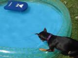 Un Pinscher nain s'amuse dans une piscine