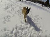 Un Berger Belge Malinois joue dans la neige