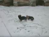 Deux Yorkshire jouent dans la neige