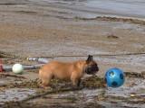 Un Bouledogue Français joue au football sur une plage