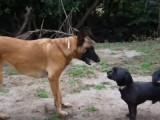 Un caniche vs un malinois