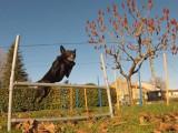 Quelques figures acrobatiques réalisées par un Kelpie Australien