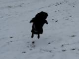 Un Berger Finnois de Laponie s'amuse dans la neige