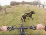 Balade à vélo avec un Berger Hollandais