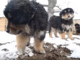 De jeunes Hotochos dans la neige
