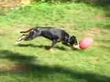 Un Bouvier de l'Entlebuch joue au football