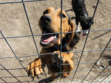 Problèmes de comportement d'un chien : le syndrôme du chenil