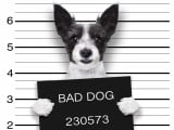 Comment corriger le comportement d'un chien voleur ?